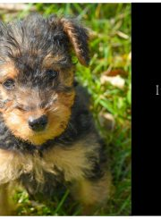 Airedale Puppy | ahealthylifeforme.com
