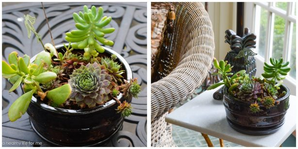 caring for tender succulents