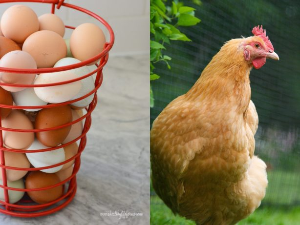 Organic Eggs and Buff Orpington Hen | DIY Eggshell Planters #EarthDayProjects