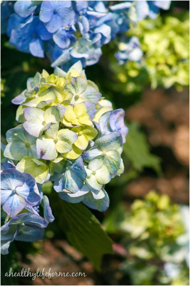 Endless Summer Hydrangea | How to Grow Hydrangea