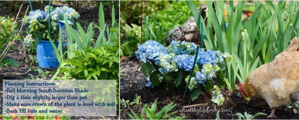 Endless Summer Bloom Struck Hydrangea | How to Grow Hydrangea