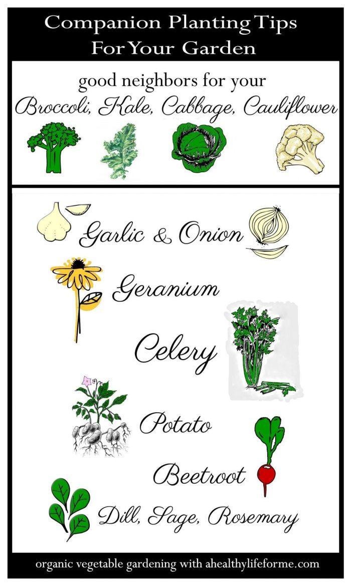 Companion Planting Tips for Cruciferous Vegetables; Broccoli Kale Cabbage Cauliflower