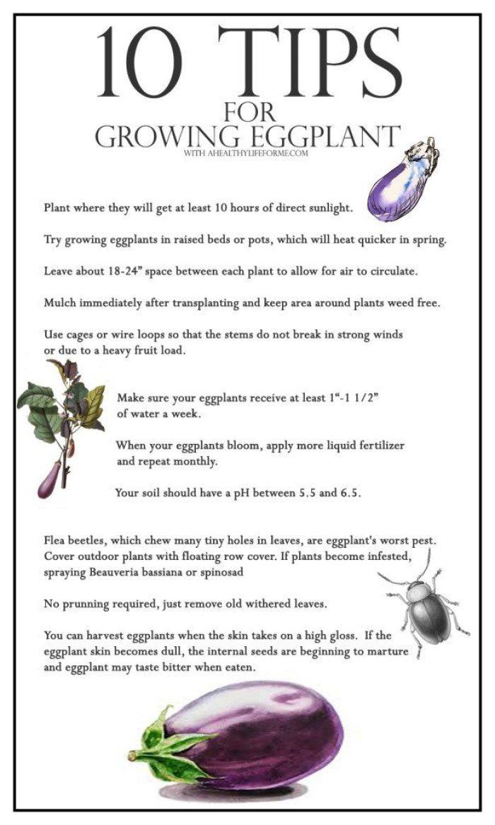 10 Tips for growing eggplants