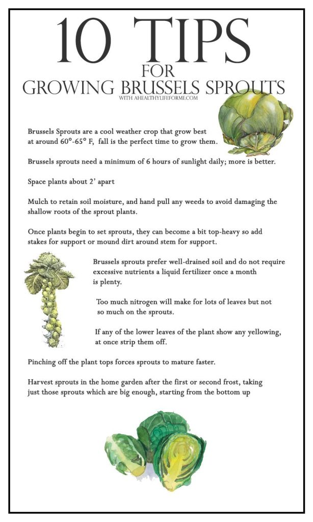 10 Tips for growing brussels sprouts   ahealthylifeforme.com