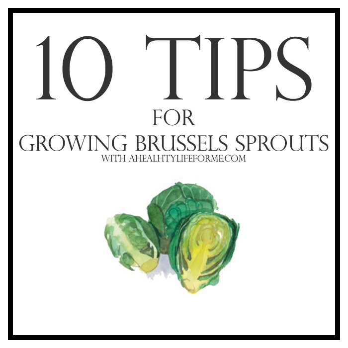 10 tips for growing brussels sprouts | ahealthylifeforme.com