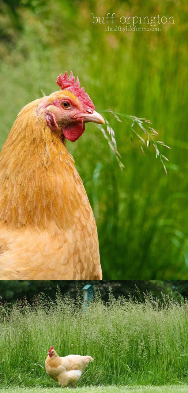 Buff Orpington fun facts about chickens | ahealthylifeforme.com
