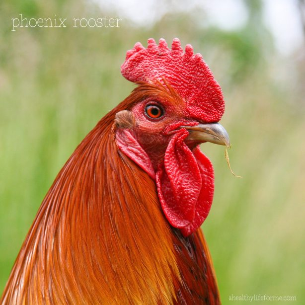 Phoenix Rooster for Fun Facts about Chickens | ahealthylifeforme.com