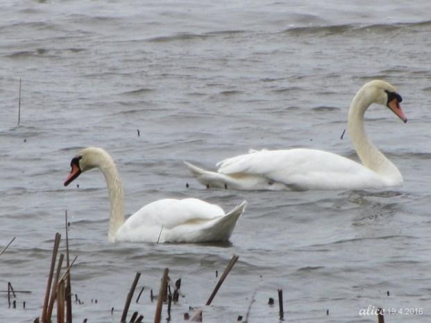 Swans IMG_0897C