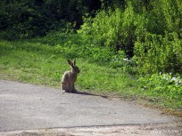 Hare IMG_0980C