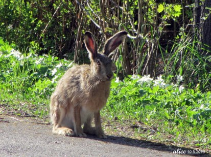 Hare IMG_0983C