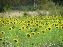 Sunflowers img_1777c