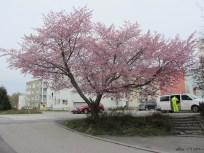 Cherry tree IMG_3393C