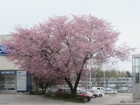 Cherry tree IMG_3394C