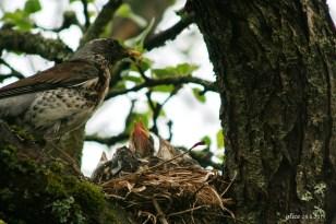 bird chicks in the nest IMG_5351C