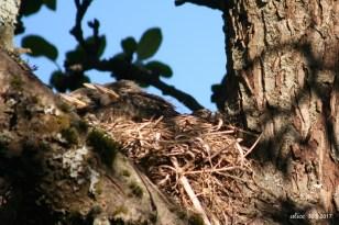 bird chicks in the nest IMG_5357C
