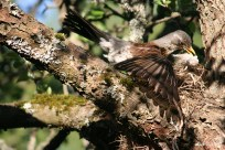 bird chicks in the nest IMG_5374C