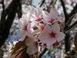 My close up of cherry blossom @ The Garden Day