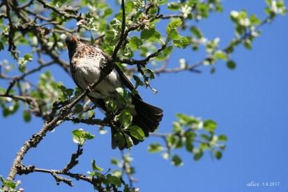 Mama bird. Bird chicks in the nest IMG_5396C