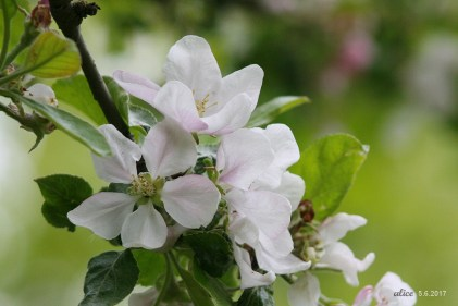 apple flowers IMG_5498C