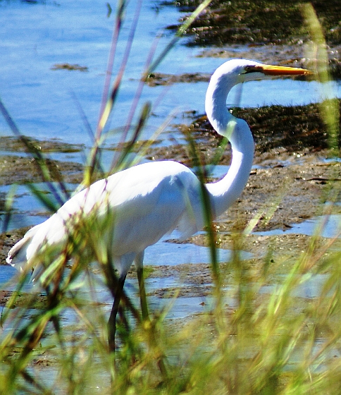 great egret 093-2