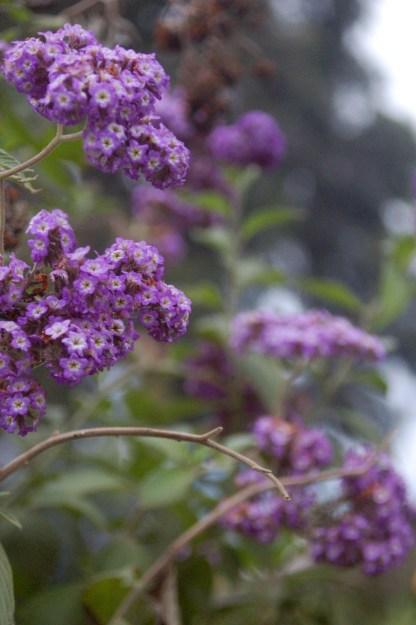 Flora of Roz Carr's Gardens 27