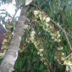 7 Langkah Mudah Membungakan dan Membuahkan Durian Sepanjang Tahun