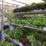 6 Faktor Sukses Budidaya Sayuran Hidroponik