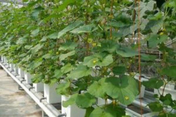 6 Faktor Sukses Budidaya Hidroponik Melon