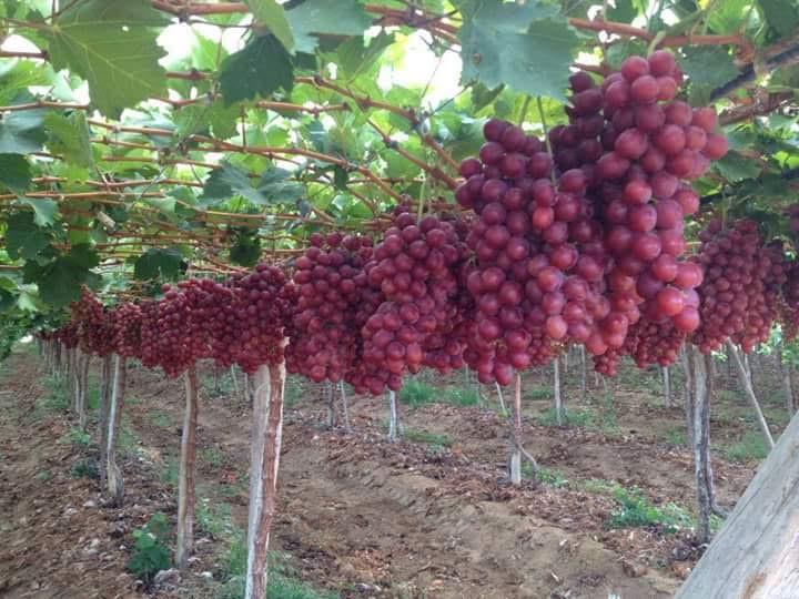 7 Cara Menanam Anggur Dalam Pot Berbuah Lebat