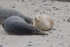 Seehunde & Kegelrobben