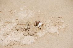 Two crabs - just one hole