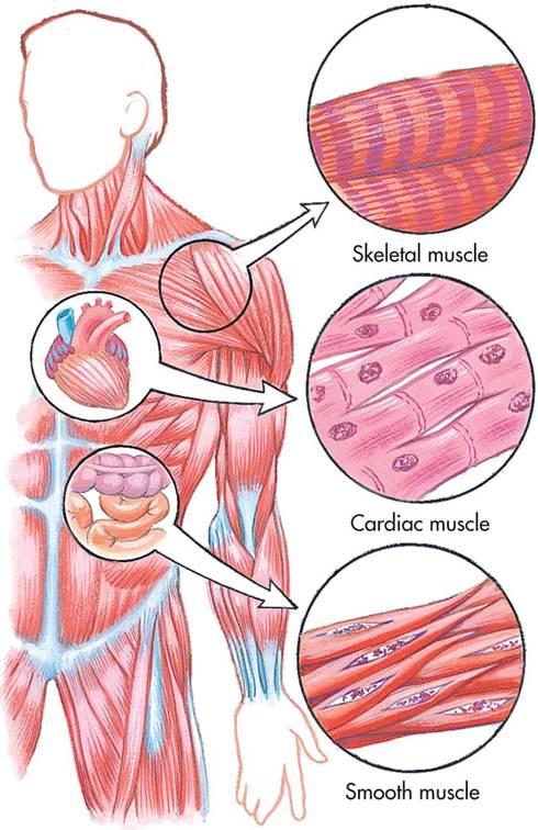Letak Otot Jantung : letak, jantung, Gambar, Letak, Polos, Lurik, Jantung