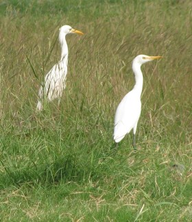 Egretta intermediate
