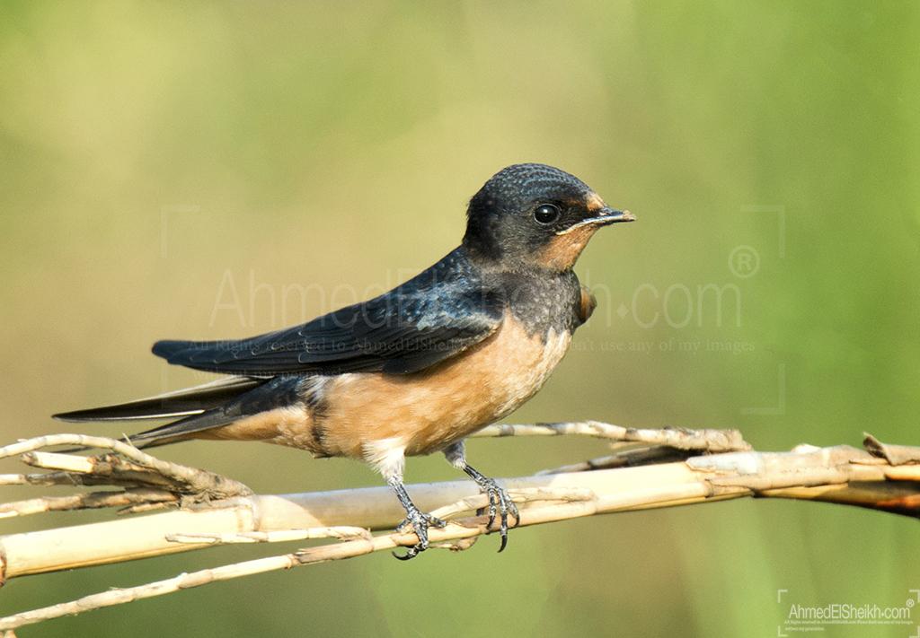 Barn Swallow Bird طائر السنونو