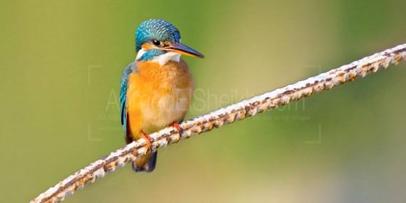 صياد السمك الشائع common-kingfisher