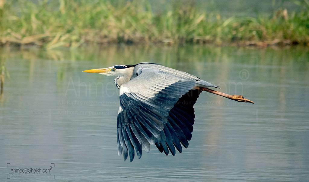 Gray Heron البلشون الرمادي
