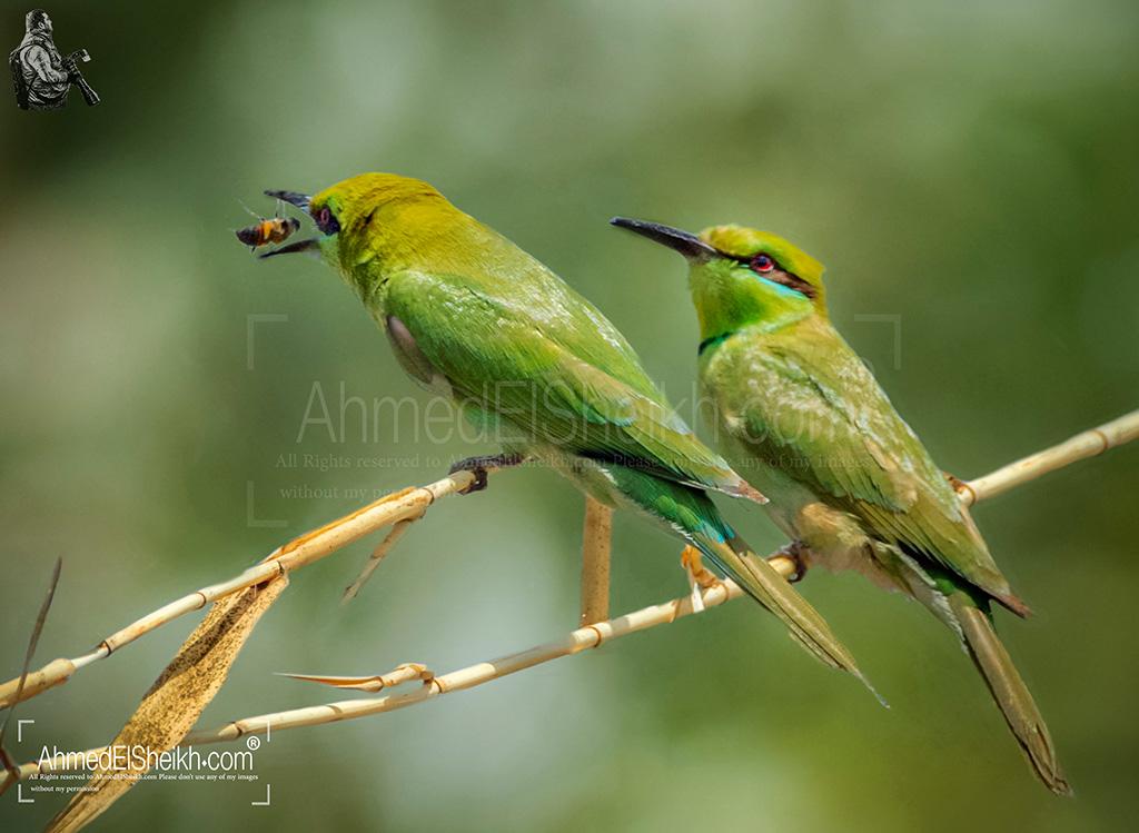 little-green-bee-eater-couple زوج من الوروار الآخضر الصغير