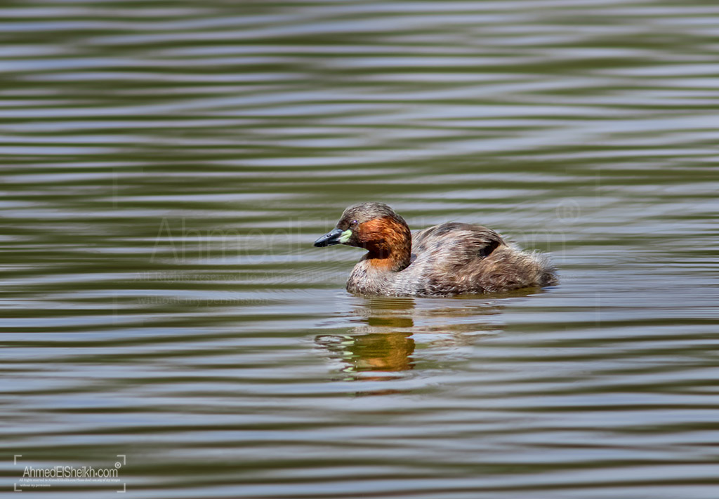Little Grebe in NaAivasha