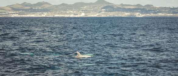 Ein weißer Rundkopf Delfin vor Sao Miguel.