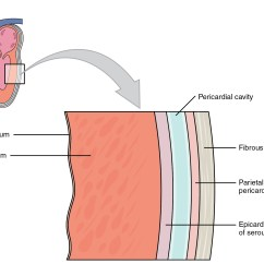 Cardiac Muscle Tissue Diagram Labeled Wiring Light Switch 3 Way Patching Up A Broken Heart With Fstl1 The Stem Cellar