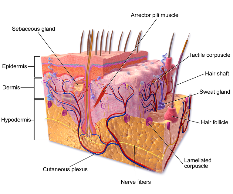 skin cross section diagram 12v illuminated switch wiring anatomy burns great installation of stem cells provide promising in the game for treating burn rh blog cirm ca gov integumentary system model with labels