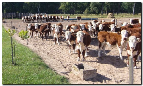 Los ganaderos retienen sus terneros hasta que aclare la incertidumbre