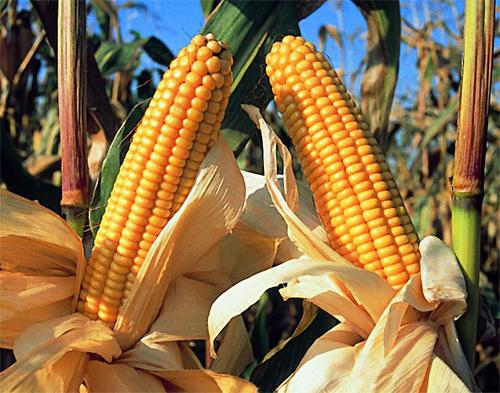 EEUU quiere hacerse con el mercado del cereal en Cuba