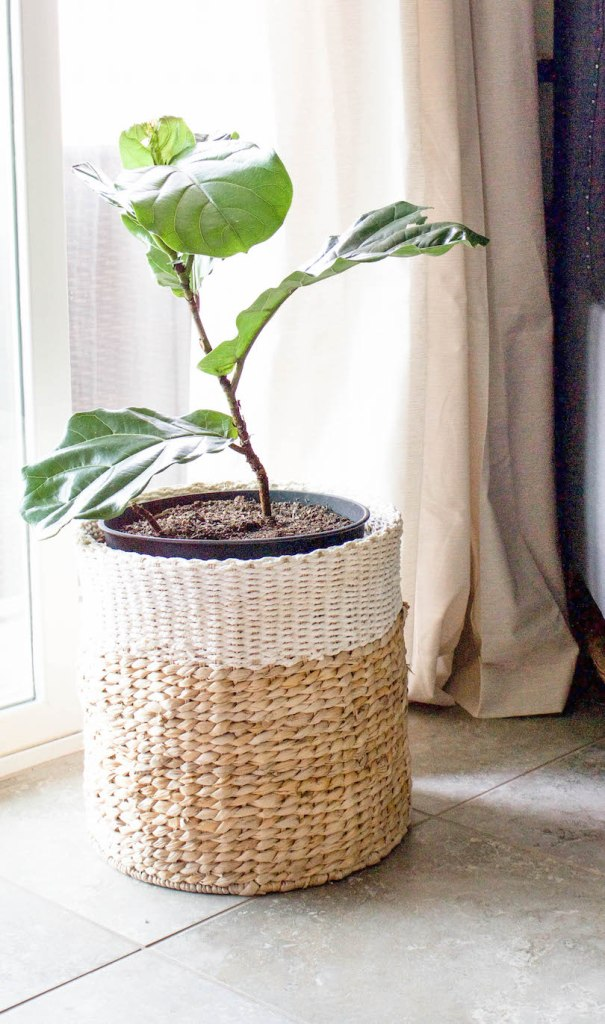 Top 10 Tips for Caring for a Fiddle Fig