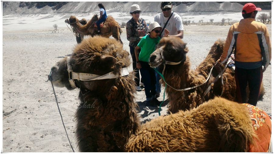 Bactrian camels have a high tolerance for cold, drought, and high altitudes