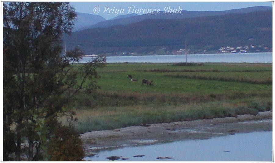 Reindeer graze in a far away field