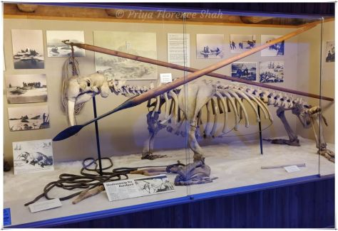 A walrus skeleton surrounded by photos depicting scenes of death