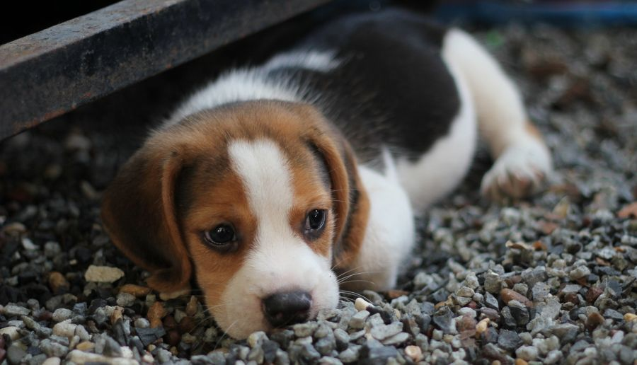 Travel With Pets Dogs Road Trips Tips