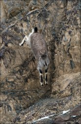 A yearling Blue Sheep jumps fearlessly from the edge of the cliff to the rocks below.