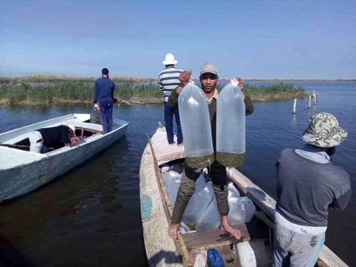 ضبط (٤٢٠٠٠) وحدة زريعة طوبار (١٠٠٠) دورة مخالف واحدة فلوكة خشبية ببحيرة البرلس.